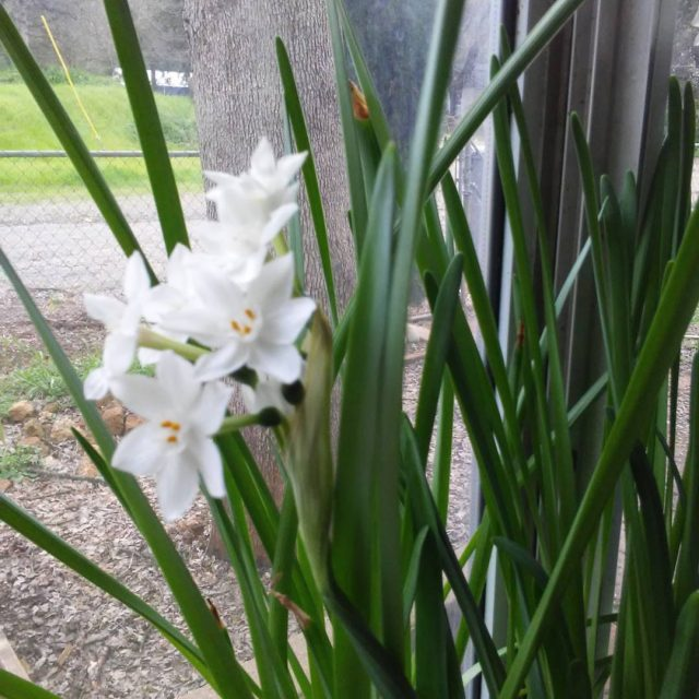 Paper Whites  flowers spring plants gardening bulbs whiteflowers bloomshellip